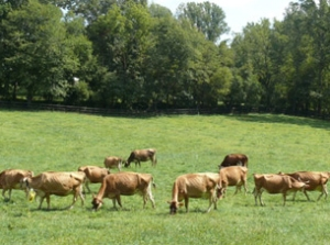 Jersey cows graze on lush green pasture at the P A Bowen Farmstead