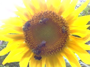 Bees love the sunflowers in my Maryland Garden