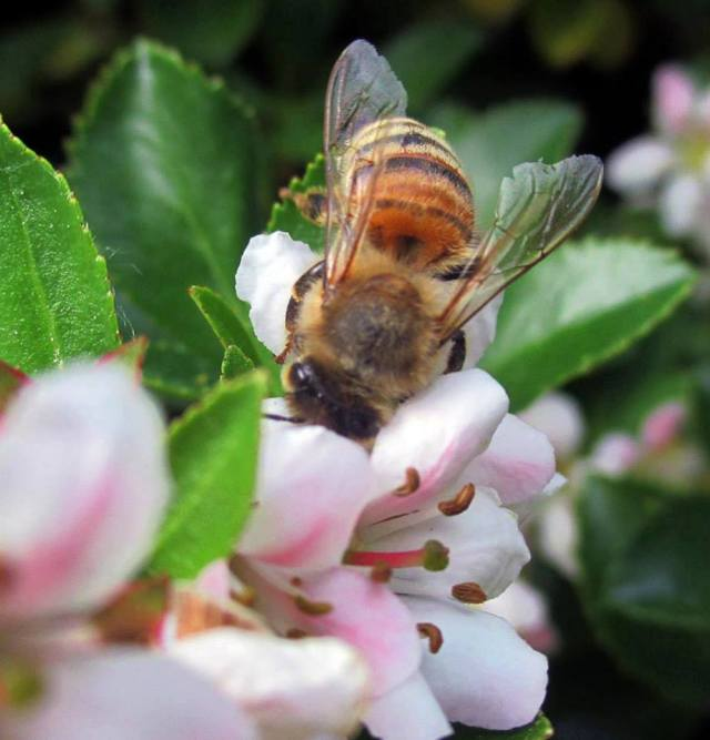 bee-pollinating-fruit-tree